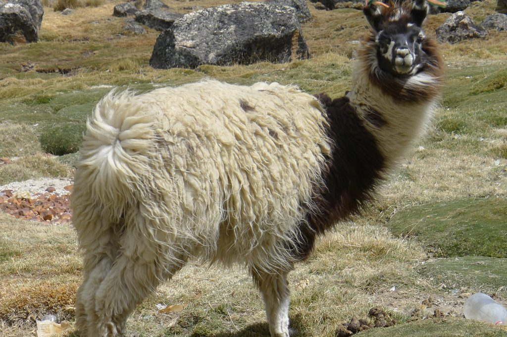 Llama staring at the high altitude experts on their way to Chacaltaya. (photo courtesy of Giuseppe Misserochi)